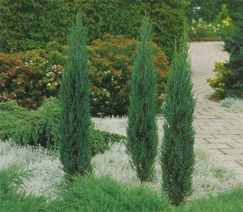 nåletræer i haven