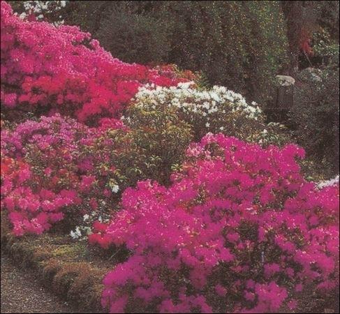 Rhododendron og andre surbundsplanter i bogense
